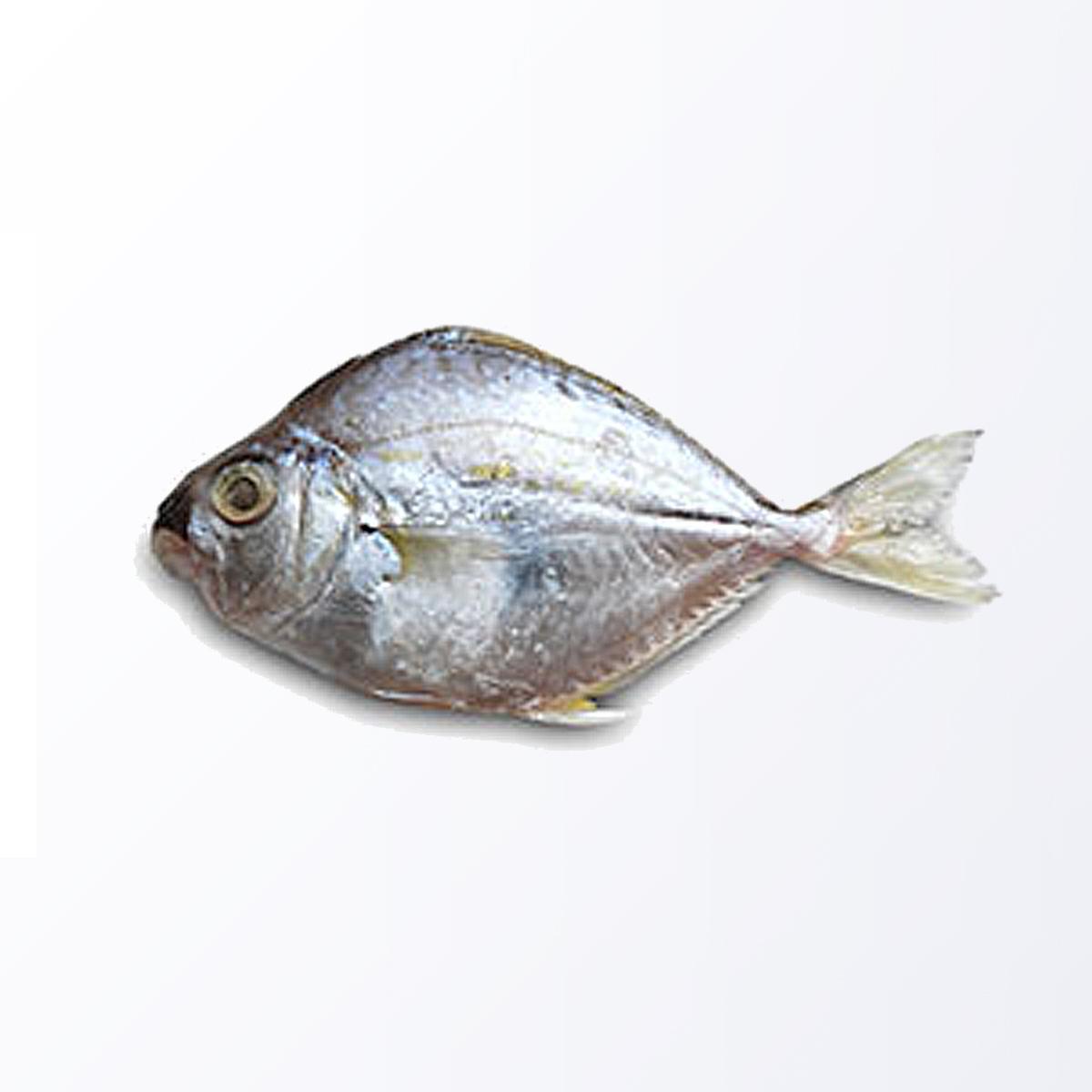 PON111-Ponyfish.jpg