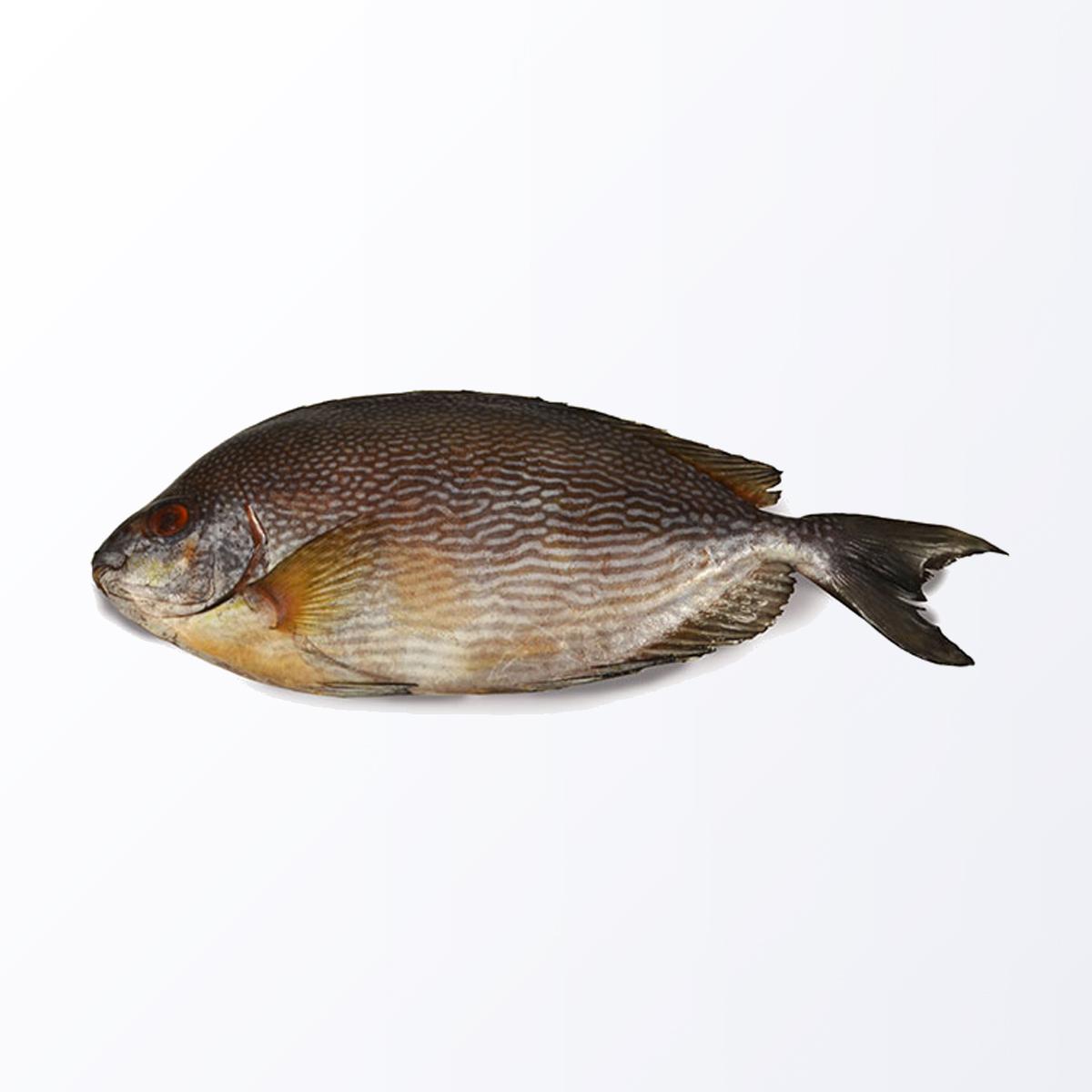 RAB117-Rabbitfish.jpg