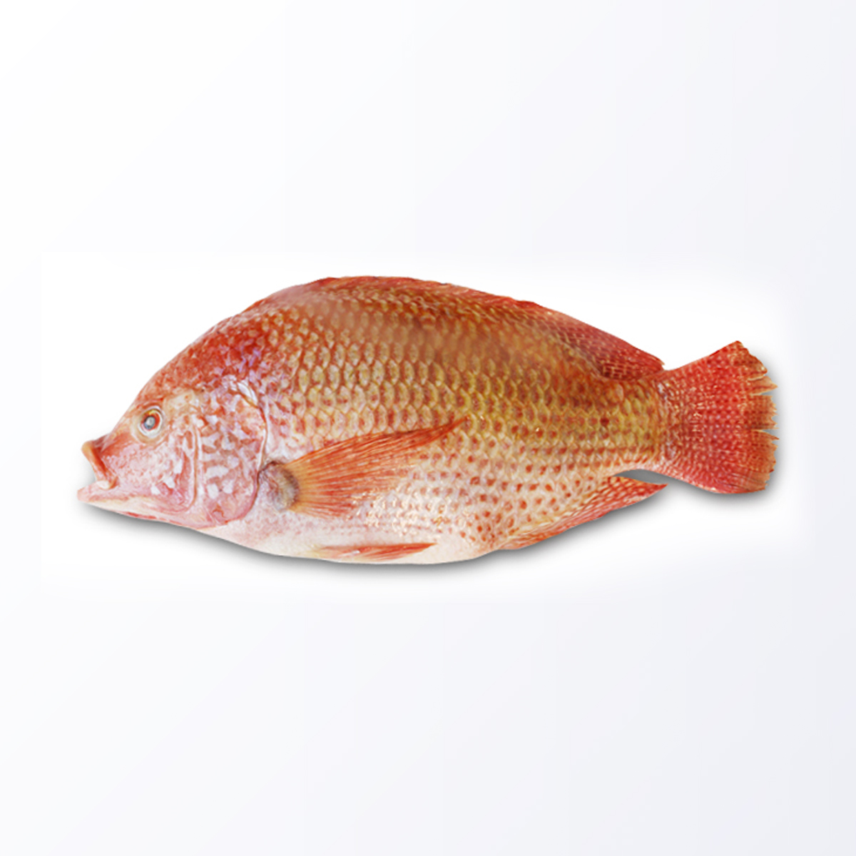 TLP156-Tilapia-Red.jpg