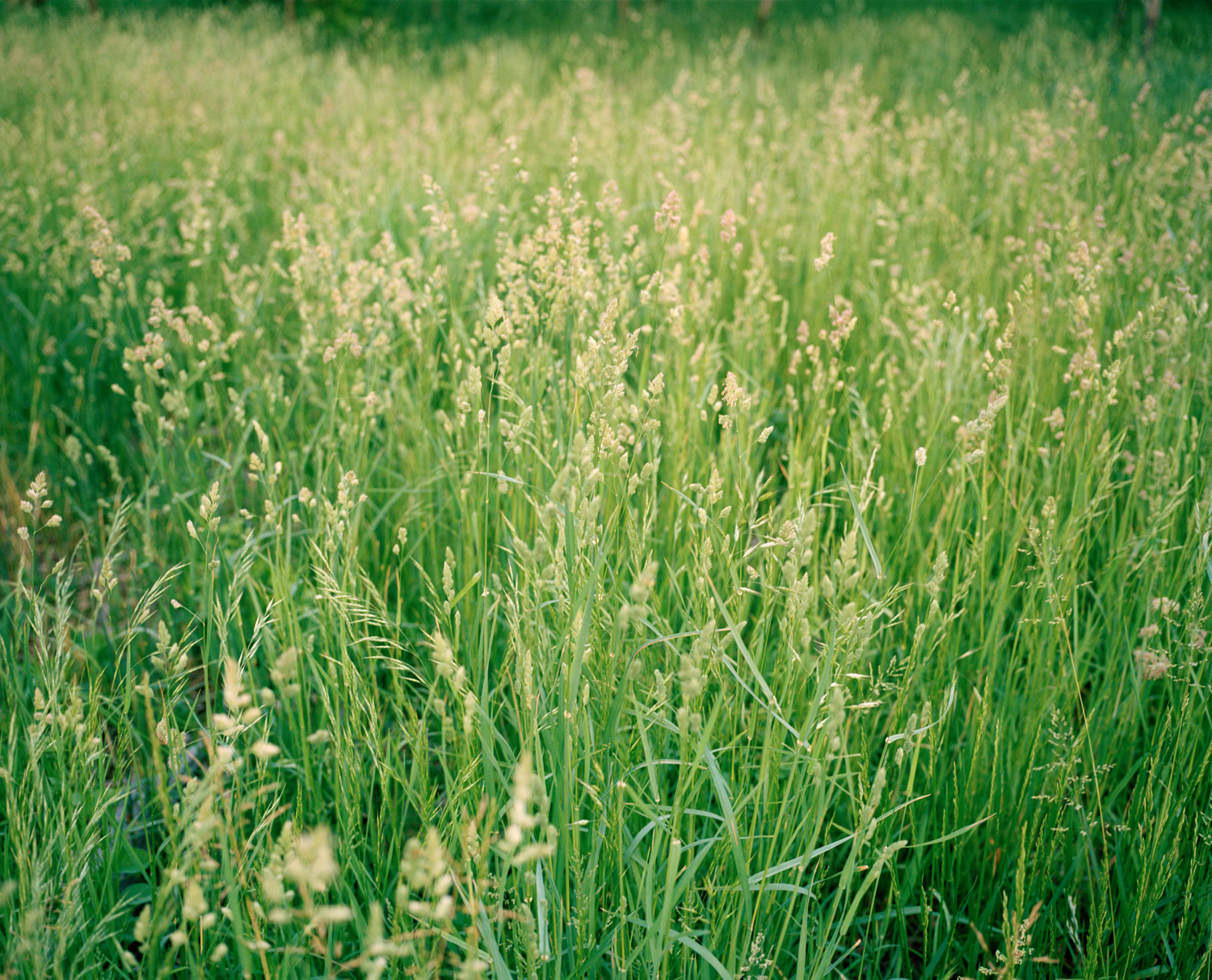 24-tall grass at park.jpg
