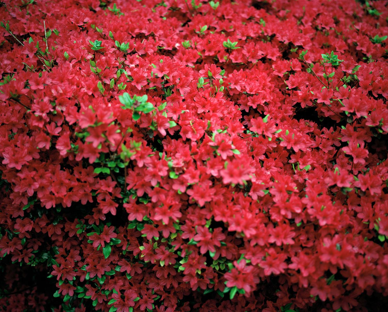 26-rosebush.jpg