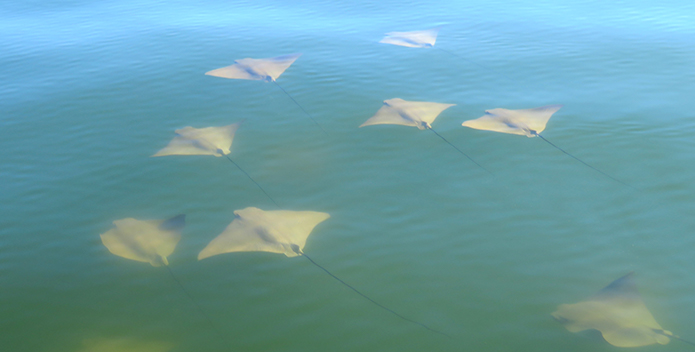 Cow Nose Rays