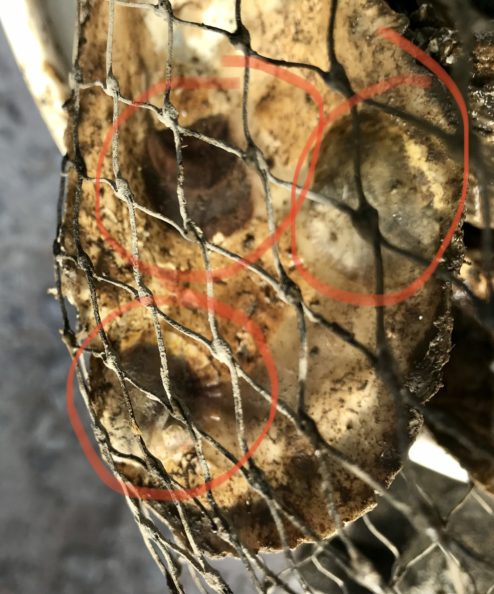 "Each Baby OYster is Called ""SPAT"" - They are circled in red. They look like barnacles on a rock at this stage. While they will adhere and grow on rocks or concrete, they like shells even better."