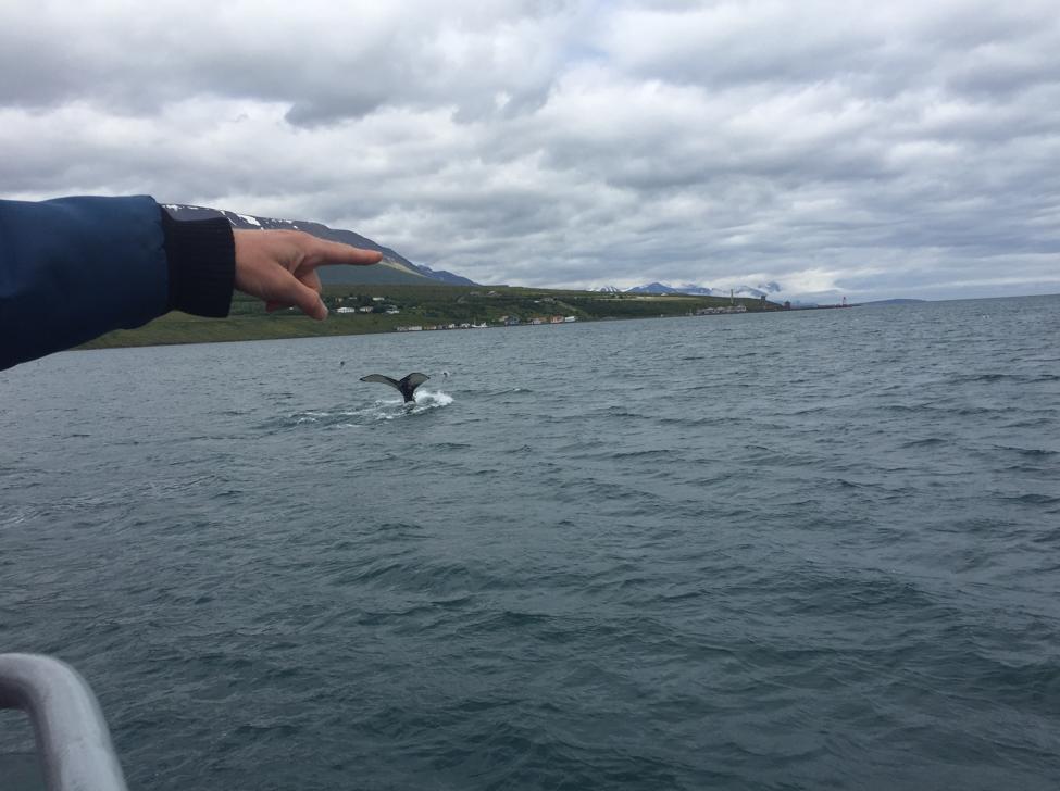 Whale watch tour in Eyjafjörður, Iceland. Photo by Maggie Siebert