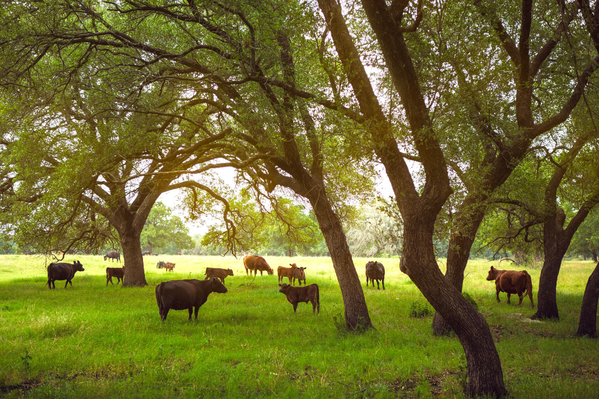 cattle-8.jpg