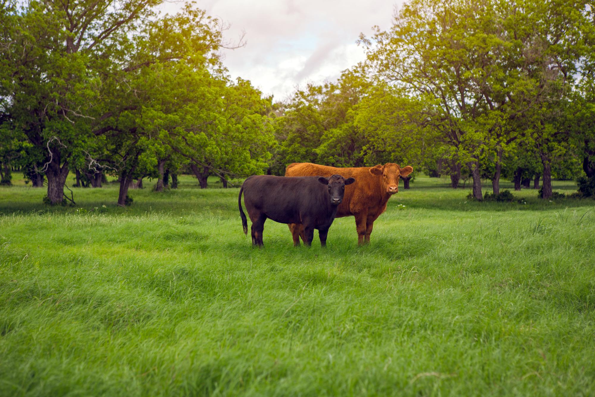 Cattle-13.jpg