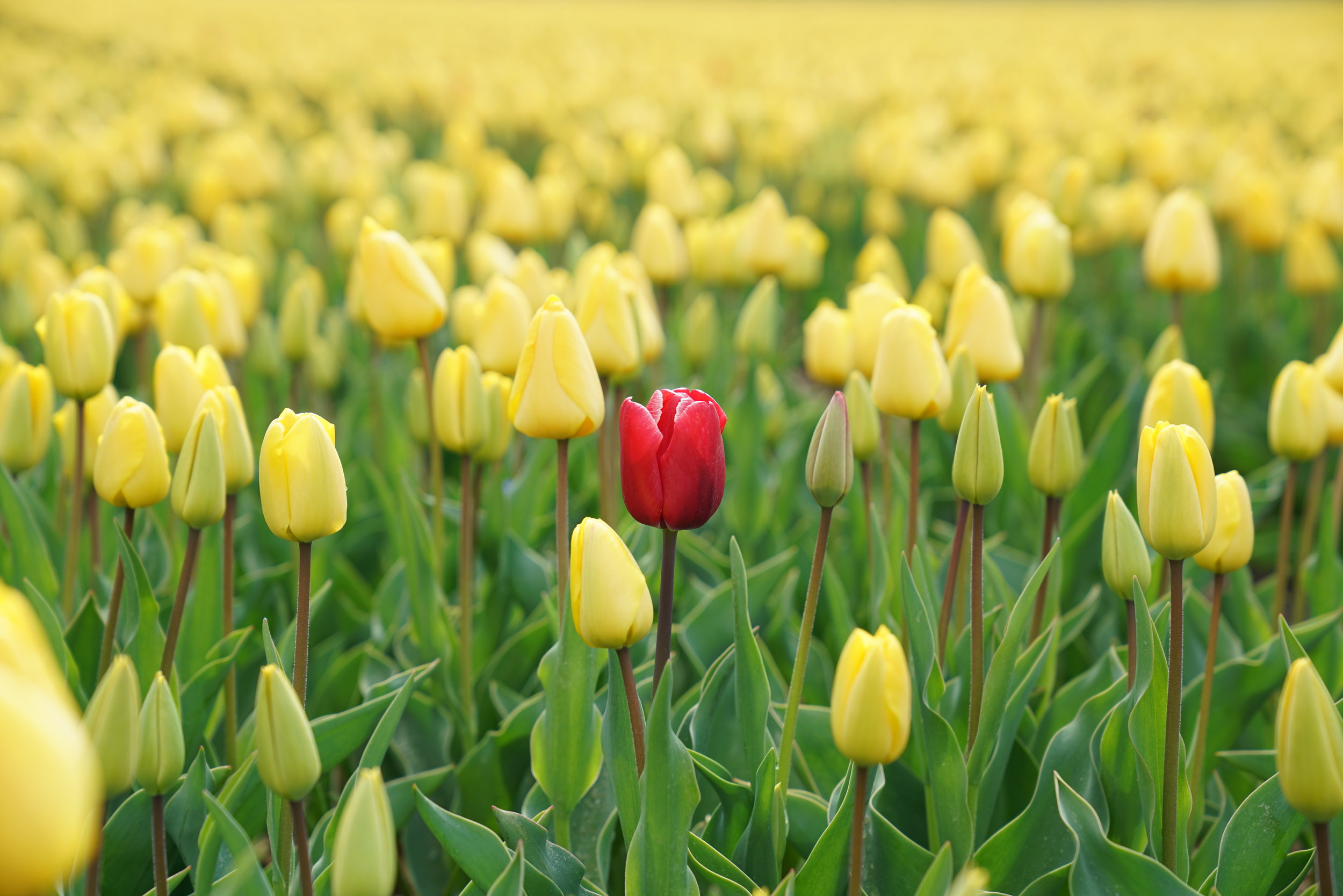 Be the red tulip in a sea of yellows!