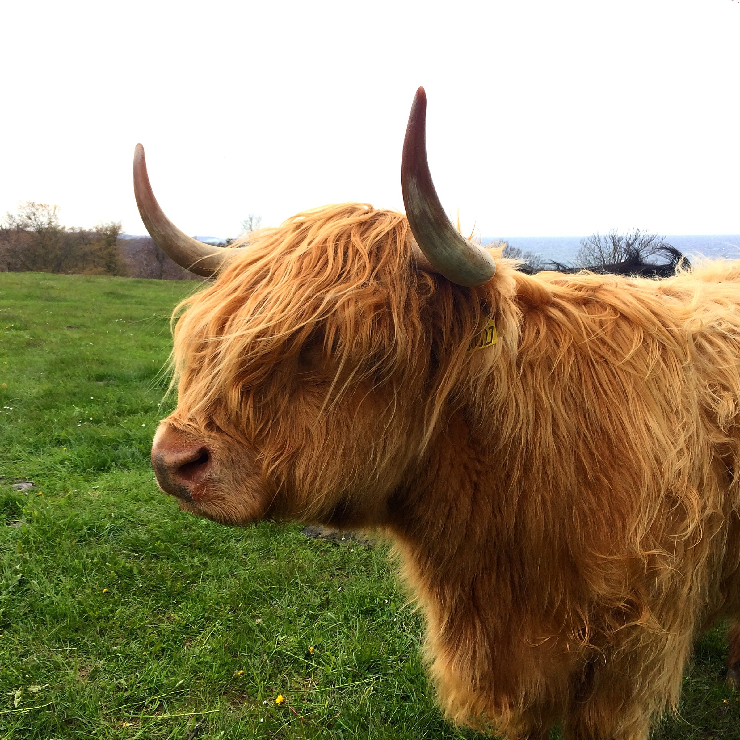 HIghland cattle grazing (and looking aloof) at the windswept fields neighbouring upon  Bornholm's Art Museum  and  Helligdomsklipperne  (best translated as The Sacred Rocks).
