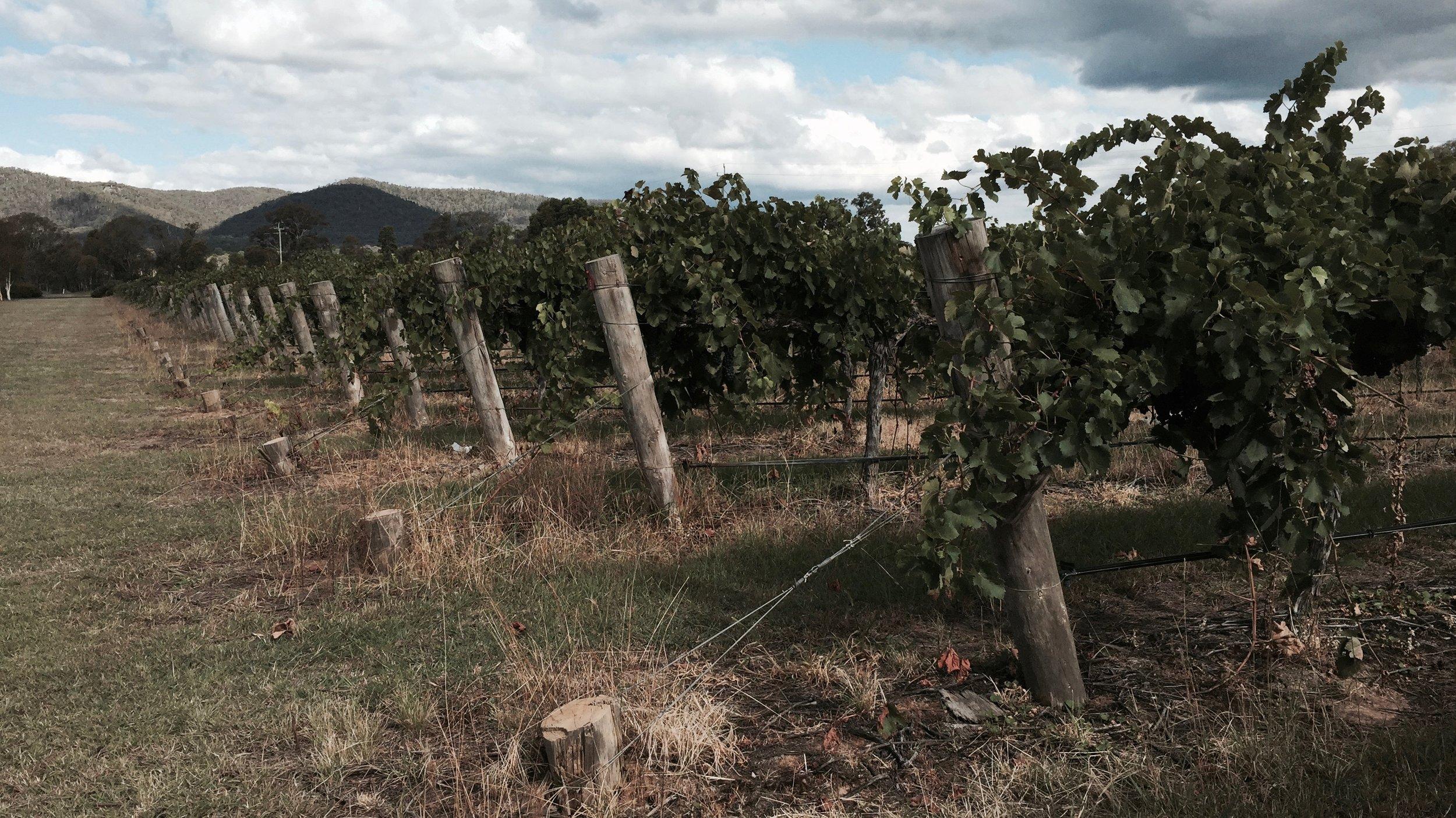 Vineyard Spring in Central NSW