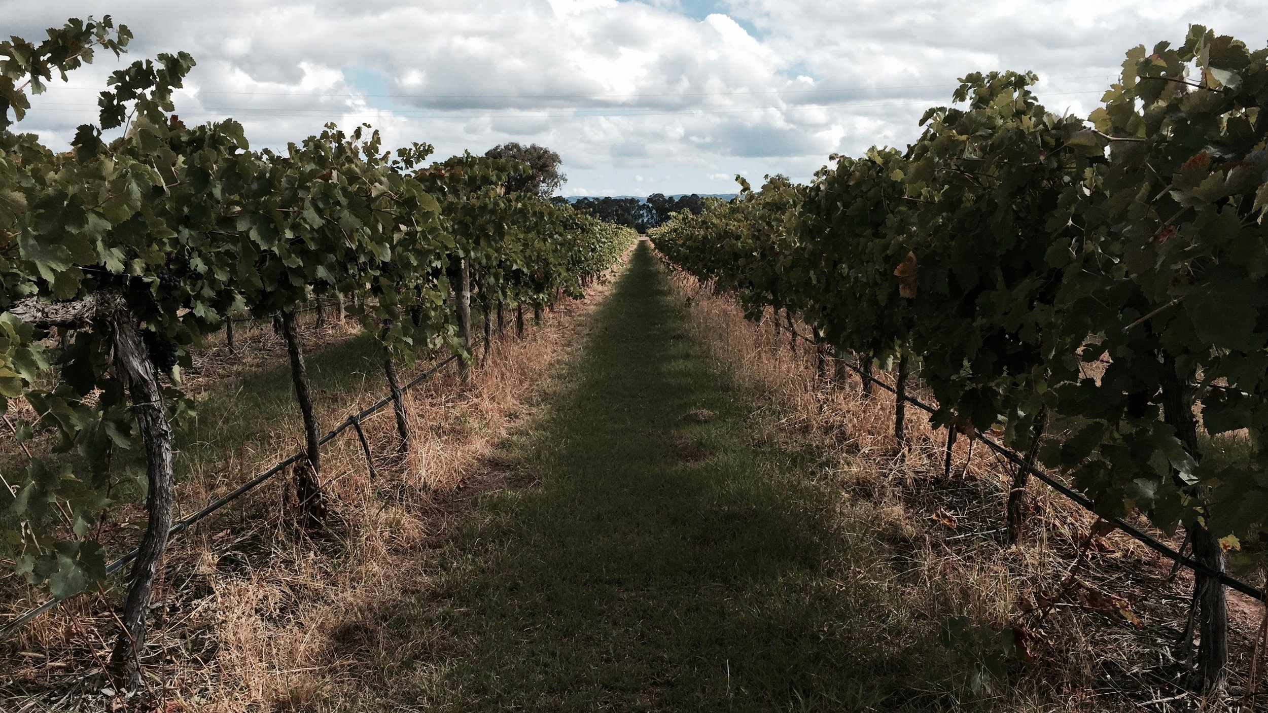 Summer Vines in Central NSW