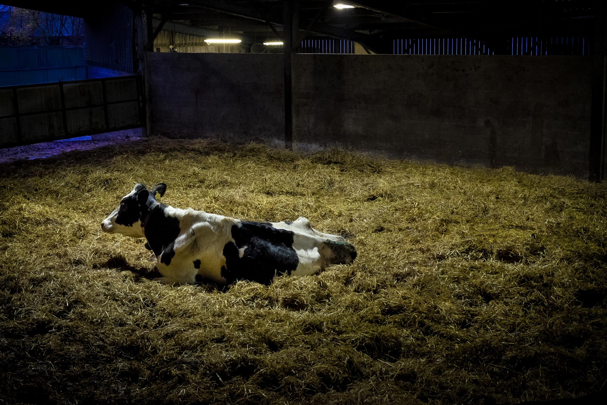 Mackies_pregnant_cow_copyright_broad_daylight.jpg