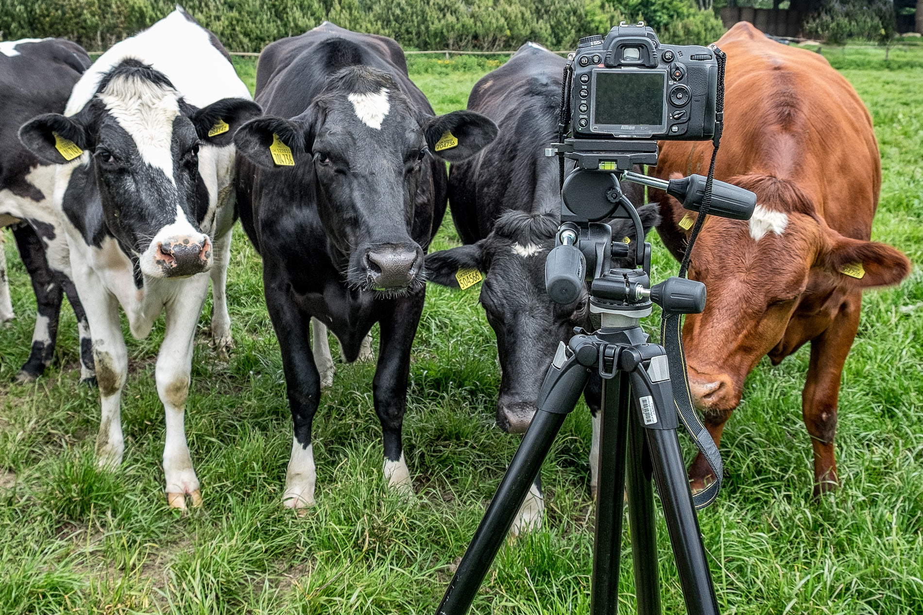 mackies-cows-with-camera-copyright-broad-daylight.jpg