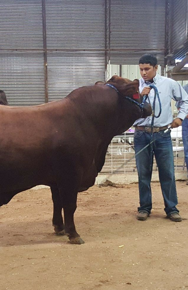 Rebecca - Showing bulls the first time