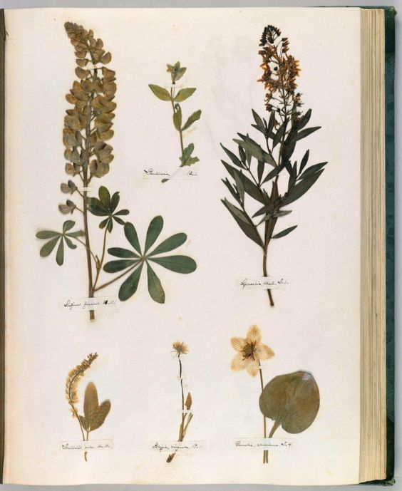 Emily Dickinson's Herbarium book