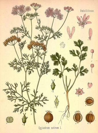 Gin botanical, Corriander seed