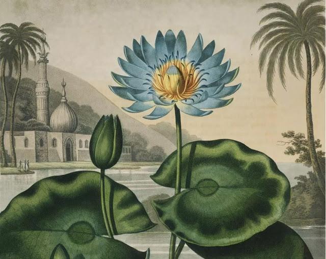 Egyptian Blue Lily by Dr Robert John Thornton