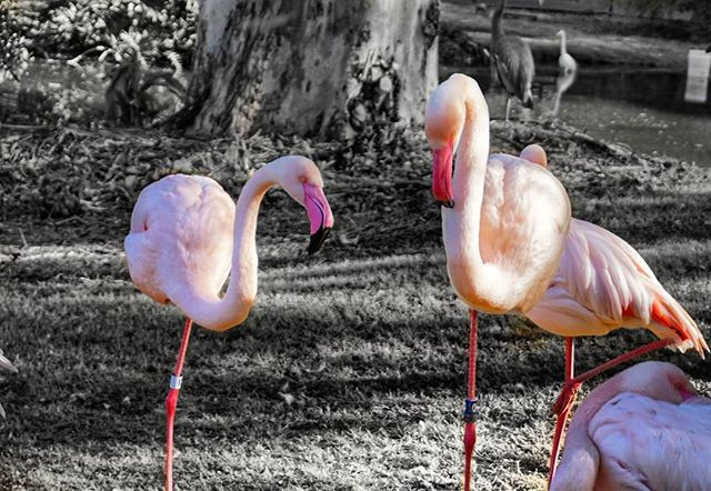 Flamingos . . . . #thedbjourney #flamingo #nature #zoo #sonya6000 #16mm #snapseed #dallasblogger #photography #phoenixzoo