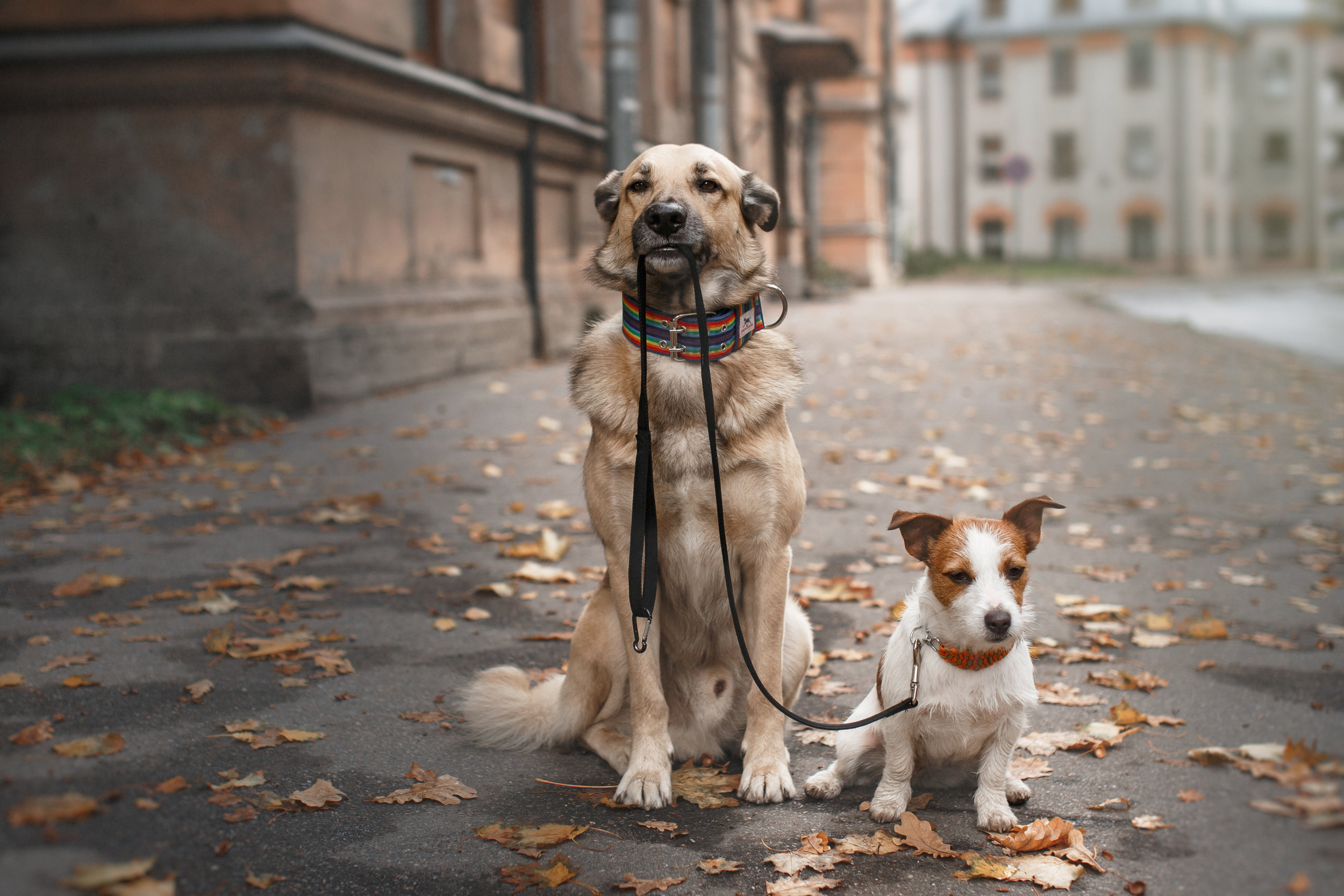 Cute dogs walking with leash