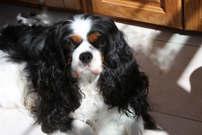 Agatha the Cavalier King Charles Spaniel CEO of Agatha's Apothecary