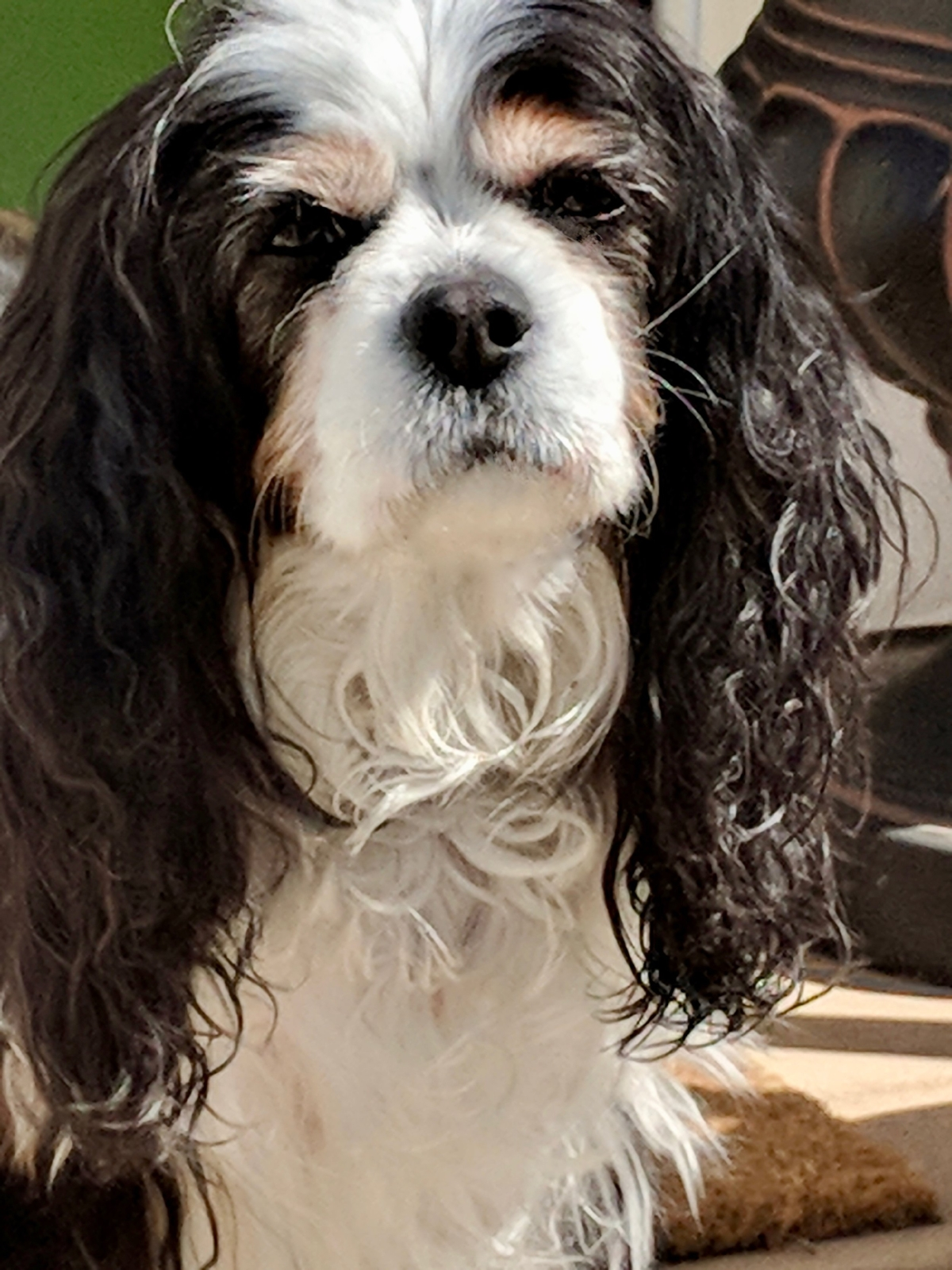 Still beautiful and thriving, truly a miracle dog my sweet Agatha...