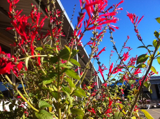 Pineapple Sage - the children love discovering the gorgeous smell of the leaves and the sweet nectar in the flowers.