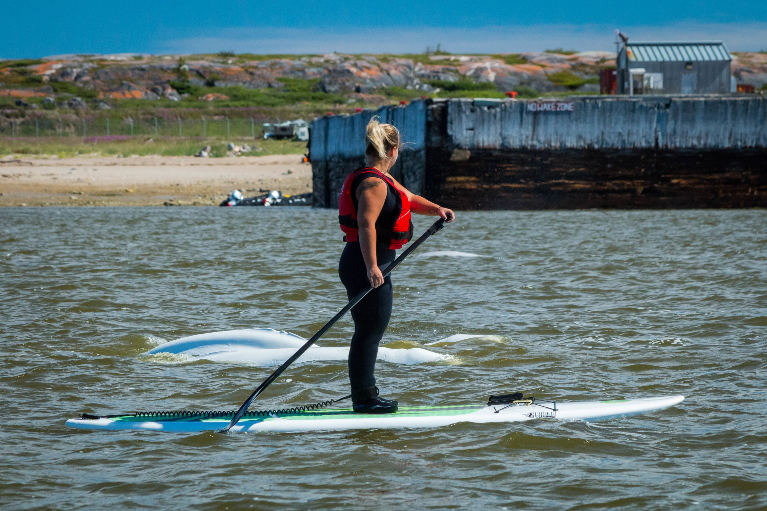 Stand up paddleboarding with Beluga whales in the Churchill river estuary