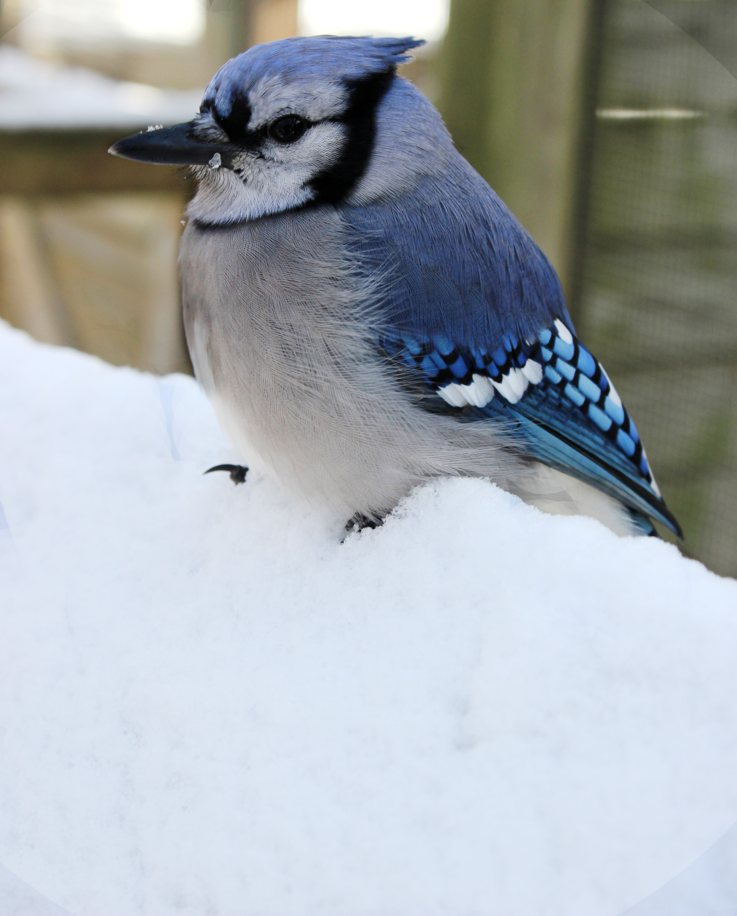 Blue Jay in Snow.png