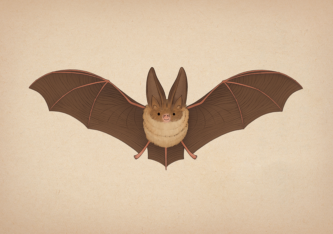 Brown_Long_Eared_Bat_Emma_Reynolds_Website.jpg