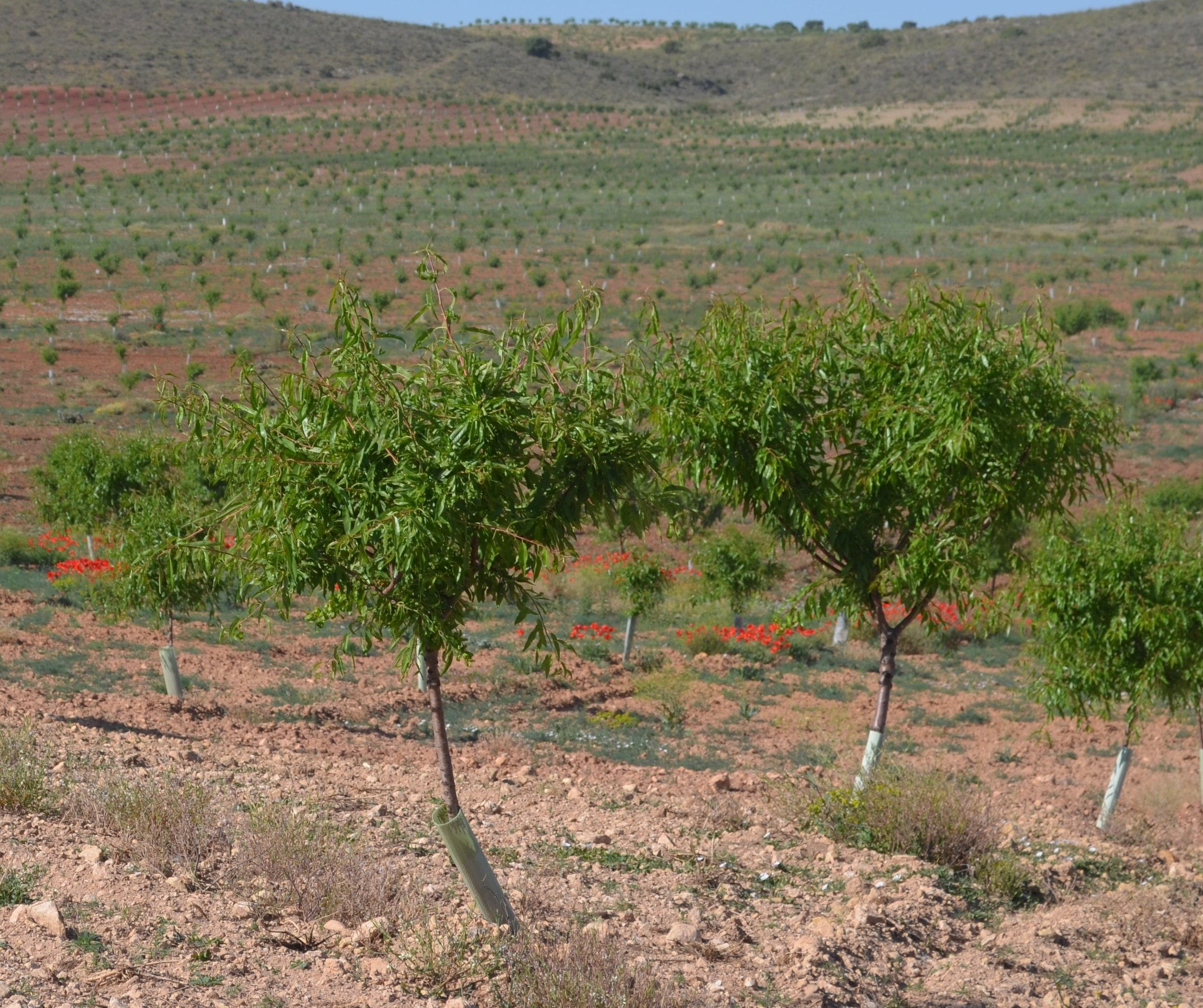 Almond trees, May 2019