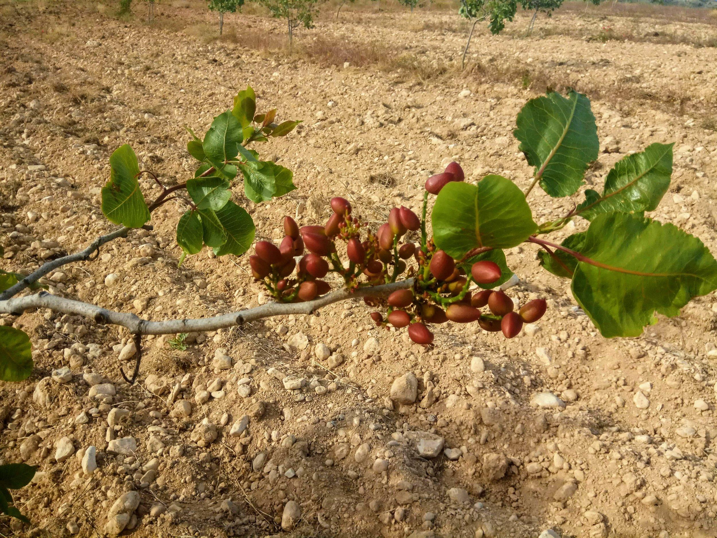 Pistachio starting to ripe, May 2019