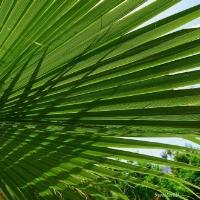 palm-frond2sb.jpg