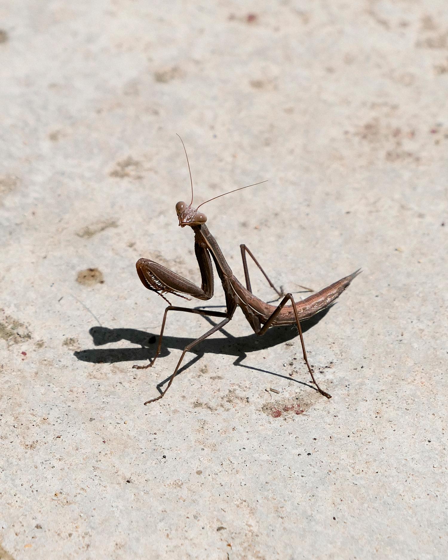 aysia-stieb-foot-tap-jaw-jerk-praying-mantis-05.jpg