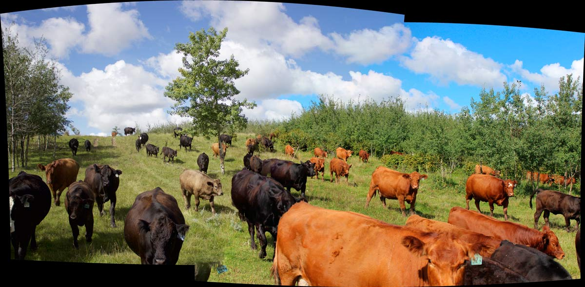 010-Cows1-web.jpg