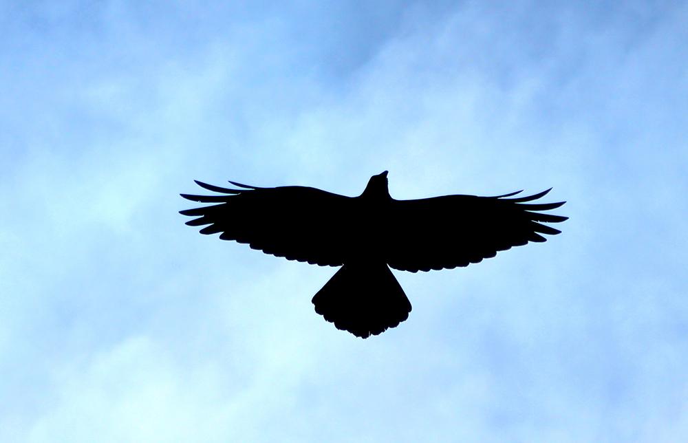 B Winner Rosy Williams Eagle wing spread.jpg