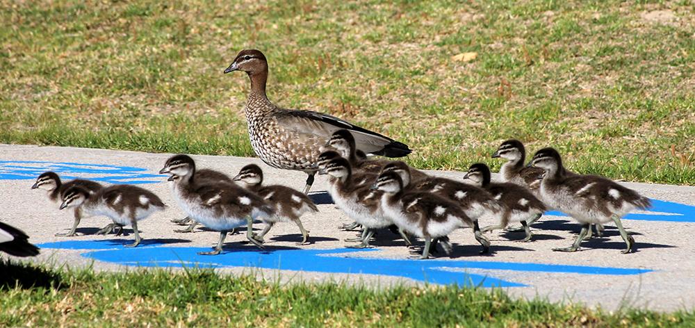 A Winner Rosy Williams Ducks crossing.jpg