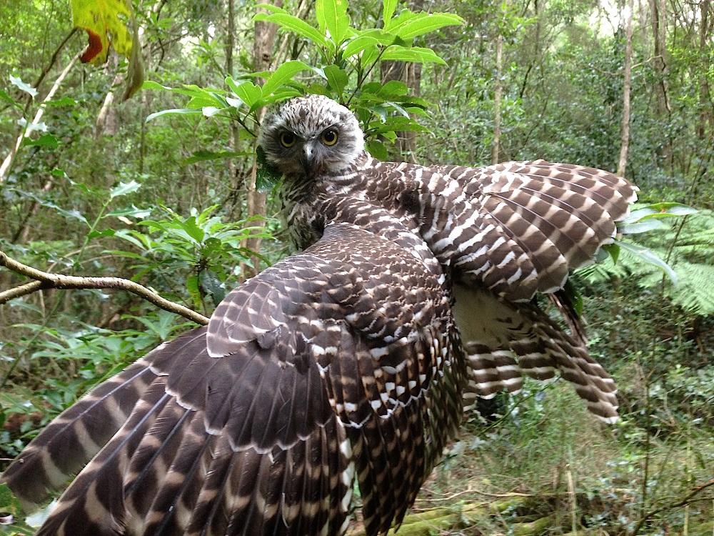 C WINNER pawprintzau@netspace.net.au - injured wing owl .jpg