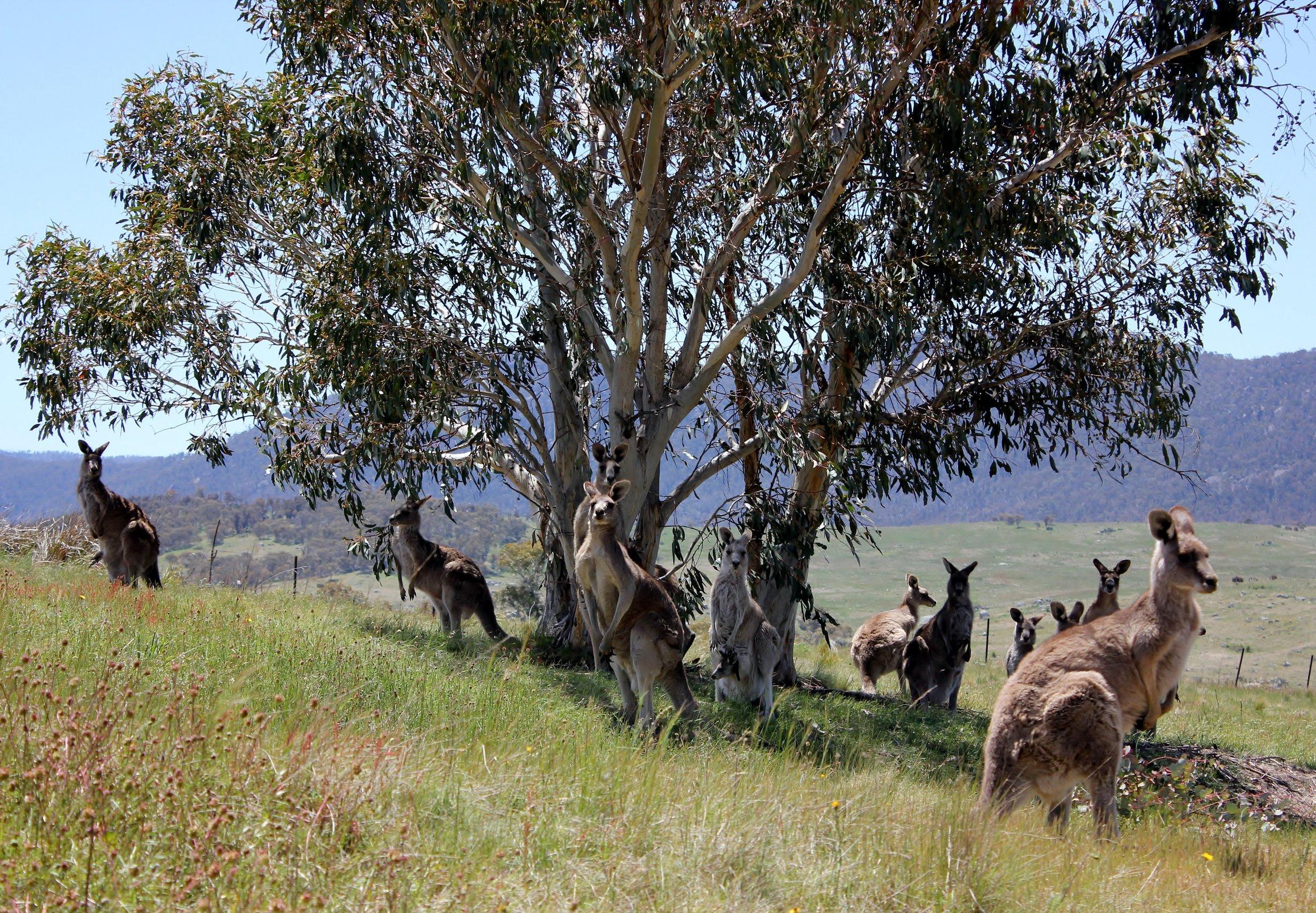 Eastern Grey Kangaroos in Namadgi National Park 2.jpg