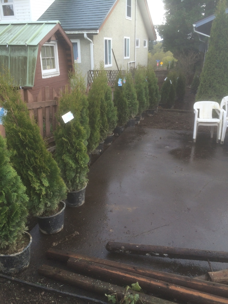 Cedar hedge installation