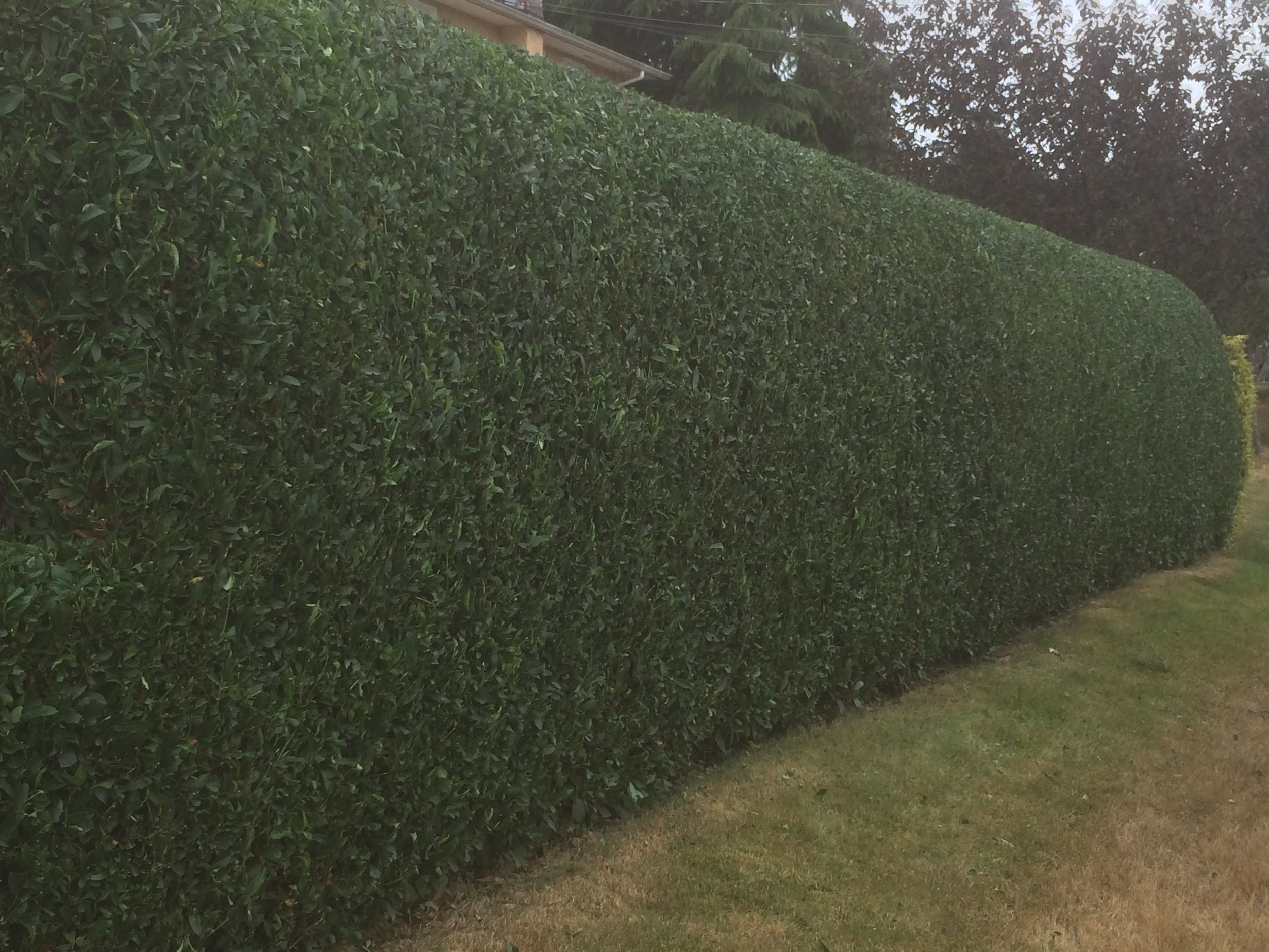 perfectly trimmed laurel hedge - jinglepot landscaping