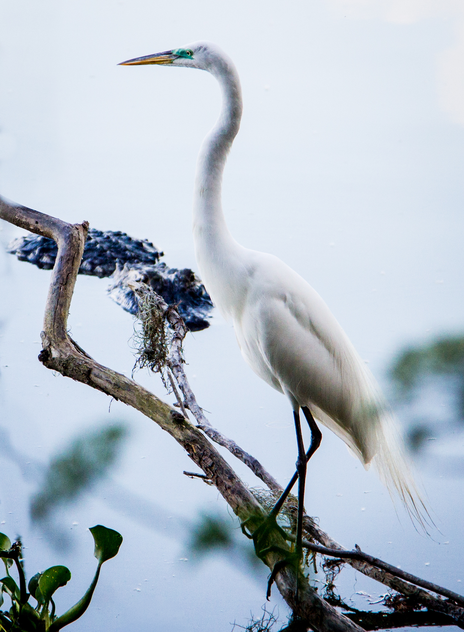Egret and Friend, Lakeland FL, Canon DSLR