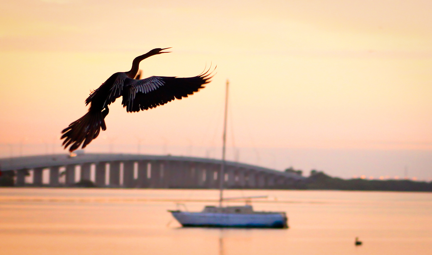 Anhinga at Dawn, St. Petersburg FL, Canon DSLR
