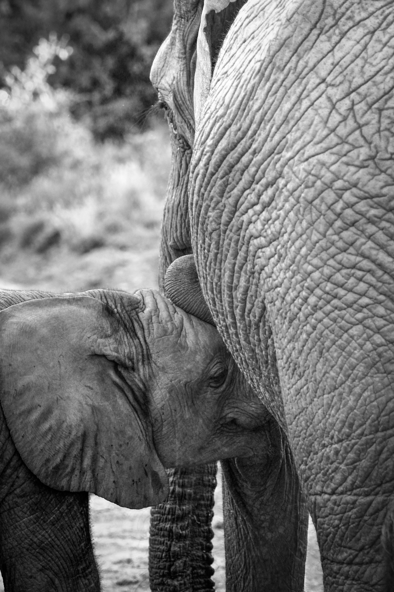 Nursing Elephant, South Africa, Canon DSLR