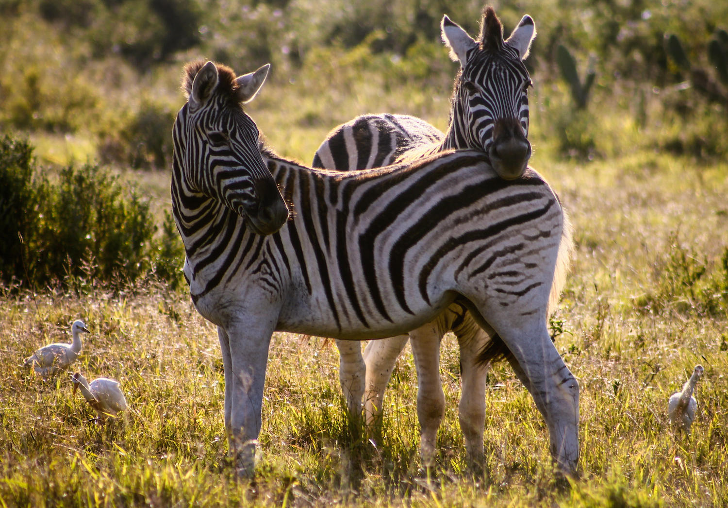 Zebra Rest, South Africa, Canon DSLR