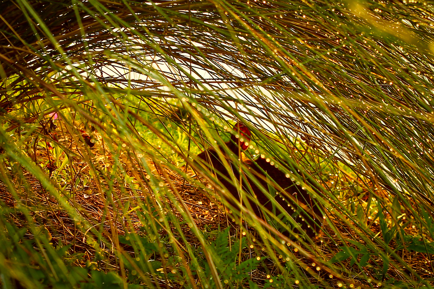 Hidden Marsh Rabbit, St. Petersburg FL, Canon DSLR