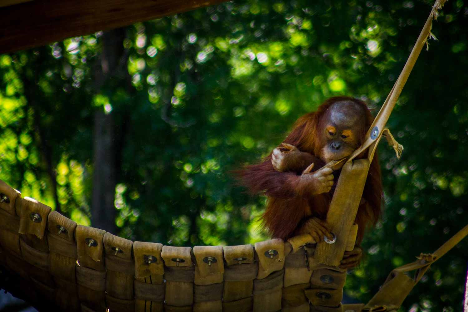 Young Orangutan, Atlanta Zoo, Canon DSLR