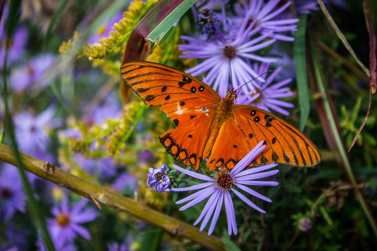 Autumn Butterfly, Atlanta GA, Canon DSLR