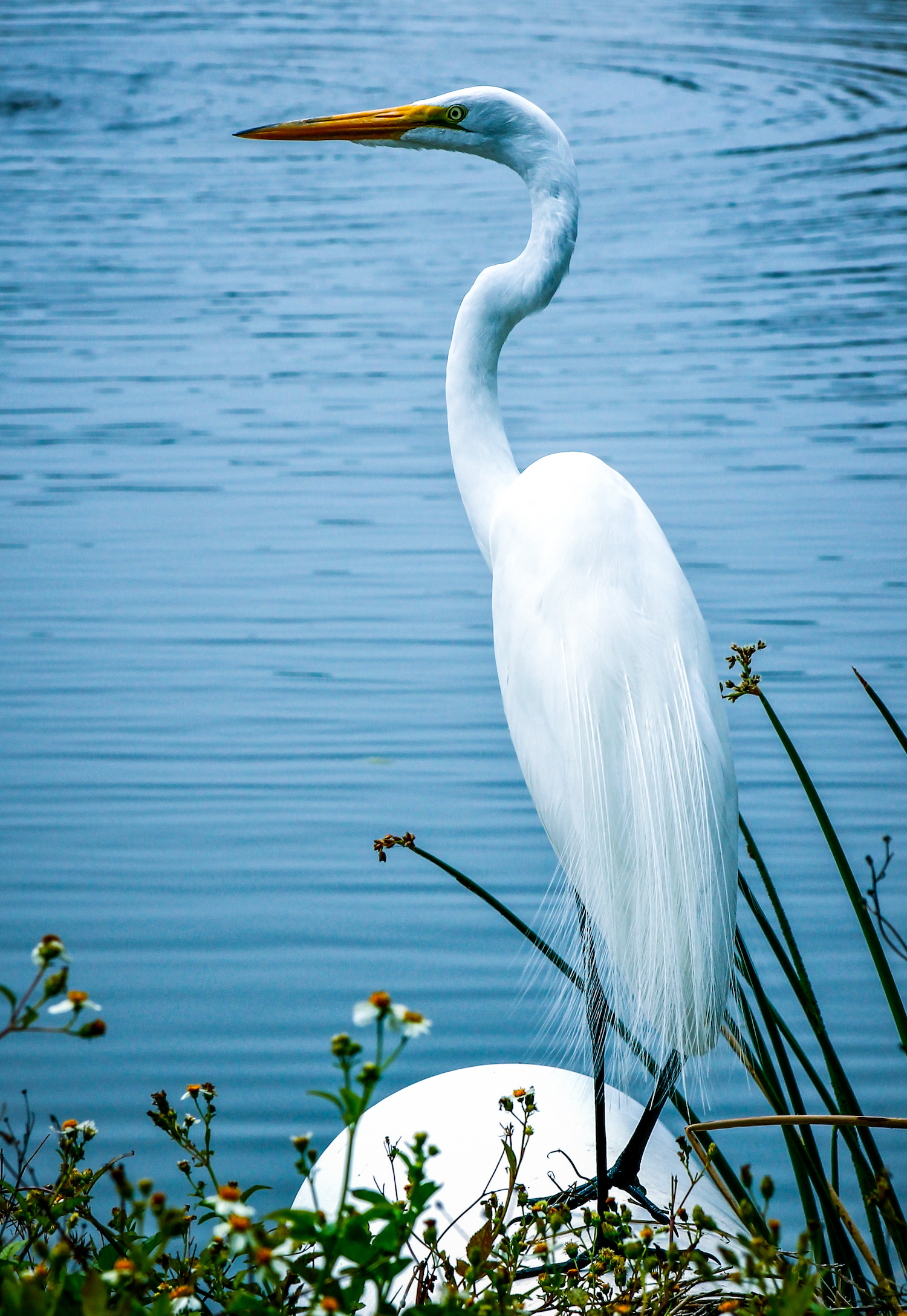 Great Egret Portrait, St. Petersburg FL, Canon DSLR
