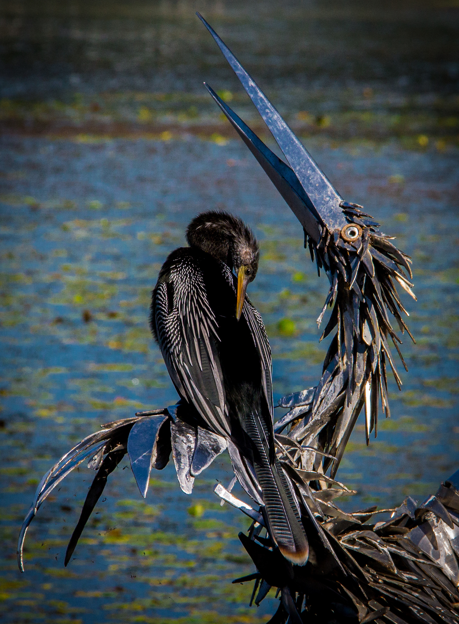 Anhinga and Friend, St. Petersburg FL, Canon DSLR