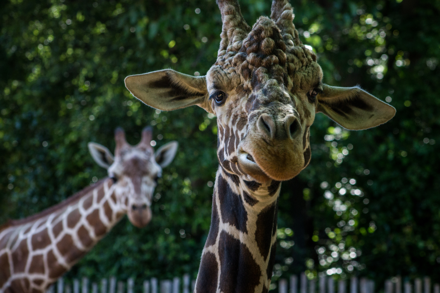 Giraffe and Friend, Atlanta Zoo, Canon DSLR