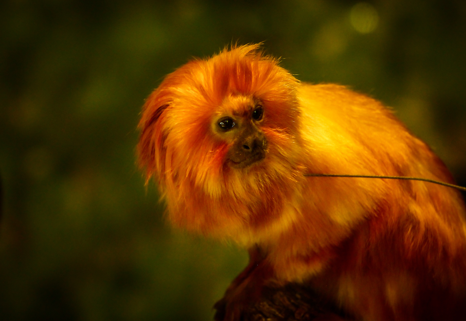 Golden Tamarin, Atlanta Zoo, Canon DSLR